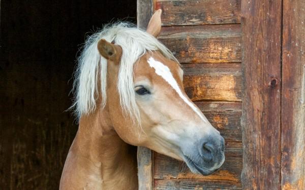 Pferd schaut aus seinem Stall