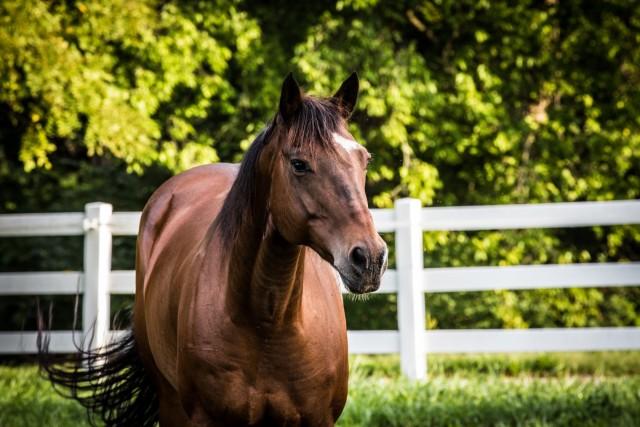 Ein braunes Pferd mit schwarzer Mähne auf einer Wiese